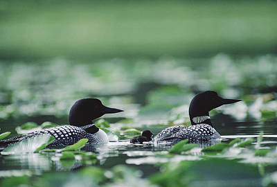 Common Loon Gavia Immer Mated Couple Art Print by Michael Quinton