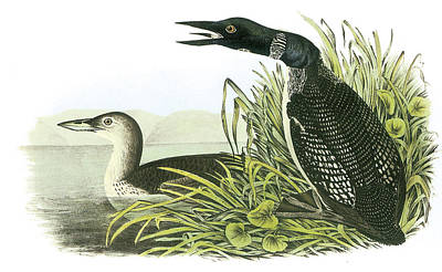Loon Painting - Common Loon by John James Audubon