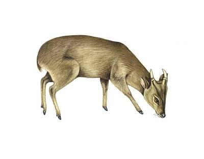Common Muntjac Deer, Artwork Art Print by Lizzie Harper