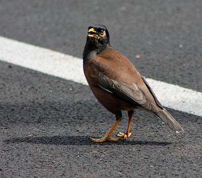 Photograph - Common Myna by Elizabeth  Doran