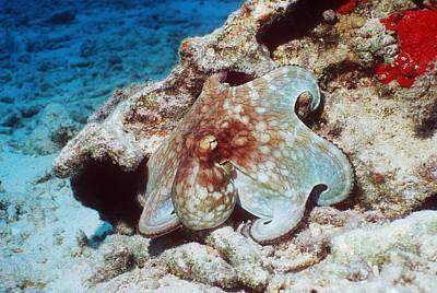 Common Octopus Art Print by Georgette Douwma