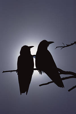 Two Crows Photograph - Common Raven Corvus Corax Pair Perching by Michael Quinton