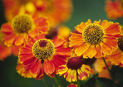Common Sneezeweed (helenium Autumnale) Art Print by Dr. Nick Kurzenko