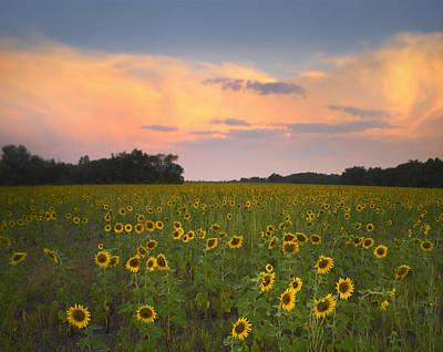 Flint Hills Of Kansas Photograph - Common Sunflower Field Near Flint Hills by Tim Fitzharris