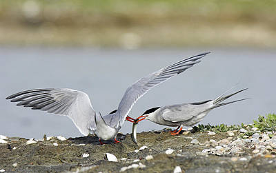 Common Tern Photograph - Common Terns by Duncan Shaw