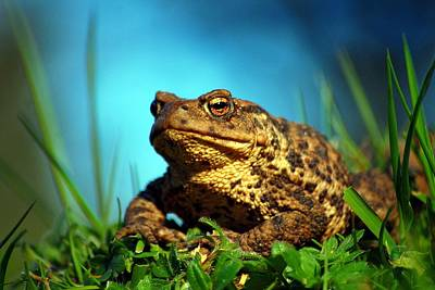 Photograph - Common Toad by Gavin Macrae