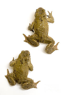 Common Toad Print by Mark Bowler and Photo Researchers