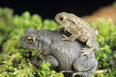 Common Toads Mating Art Print by David Aubrey