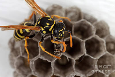 On Paper Photograph - Common Wasp by Ted Kinsman