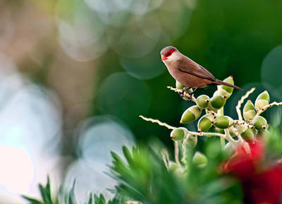 Photograph - Common Waxbill by Dan McManus