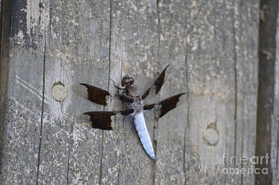 Photograph - Common White Tail Dragonfly by Donna Brown