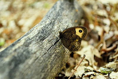 Photograph - Common Wood-nymph by JD Grimes
