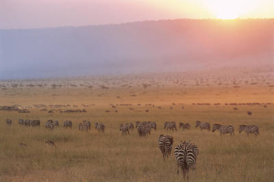 Of Zebra Grazing Photograph - Common Zebras And Wildebeest At Sunset by James Warwick