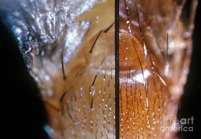 Comparing Drosophila Bristles Art Print by Science Source