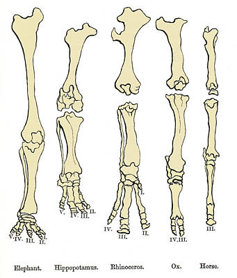 Comparison Of Animal Feet, Historical Art Print by Sheila Terry