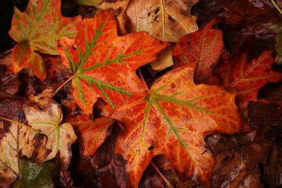 Photograph - Complementary Contrast Leaves by Matthew Green