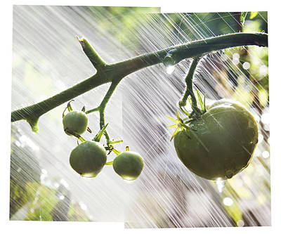 Y120817 Photograph - Composite Photo Of Watering Green Tomatoes by Andrew Kolb