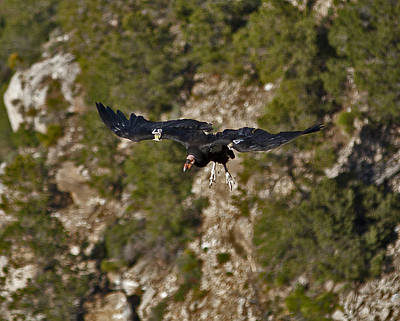 Photograph - Condor 87 In Flight by Gregory Scott