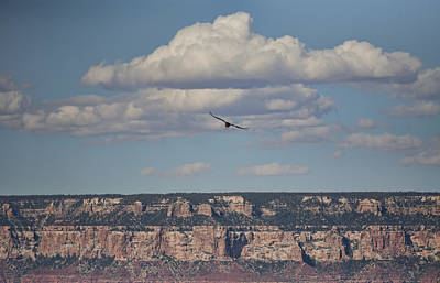 Photograph - Condor Above Grand Canyon by Gregory Scott