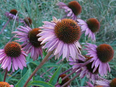 Photograph - Cone Flowers by Terri Thompson