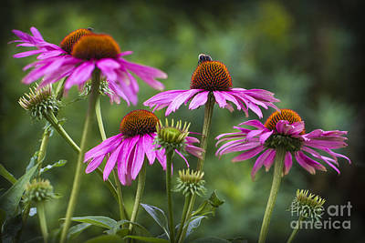 Photograph - Coneflower And Bee. by Clare Bambers
