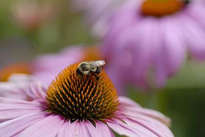 Photograph - Coneflower Bee by Kirk Stanley
