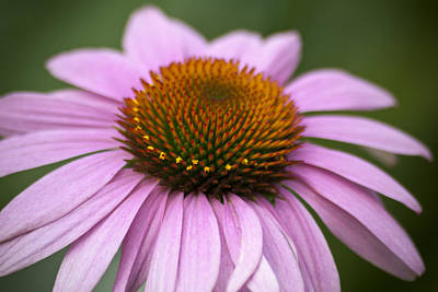 Photograph - Coneflower Closeup by Jason Pryor