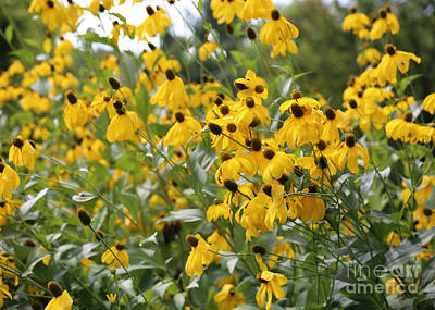 Yellow And Green Floral Photograph - Coneflowers Canvas by Carol Groenen