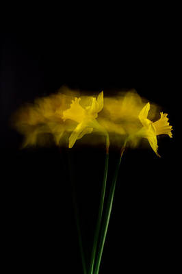 Photograph - Confused Daffodil by Roger Mullenhour