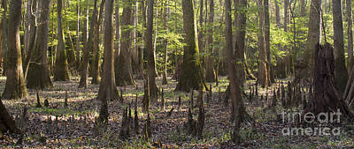 Cypress Swamp Photograph - Congaree National Park  by Dustin K Ryan
