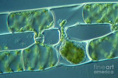 Nic Photograph - Conjugation In Algae, 3 Of 4 by M. I. Walker