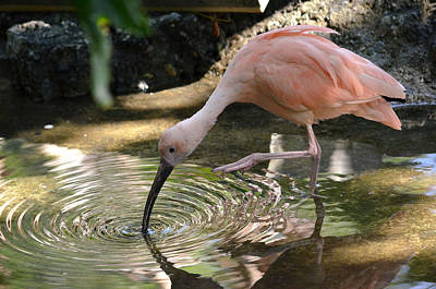 Ibis Photograph - Cool Waters by Fraida Gutovich