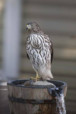 Photograph - Cooper's Hawk - Immature - 0002 by S and S Photo