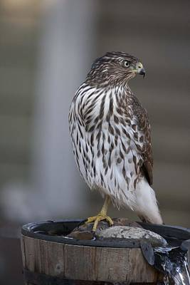 Photograph - Cooper's Hawk - Immature - 0003 by S and S Photo