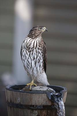 Photograph - Cooper's Hawk - Immature - 0005 by S and S Photo