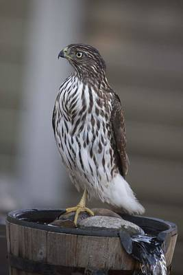 Photograph - Cooper's Hawk - Immature - 0006 by S and S Photo