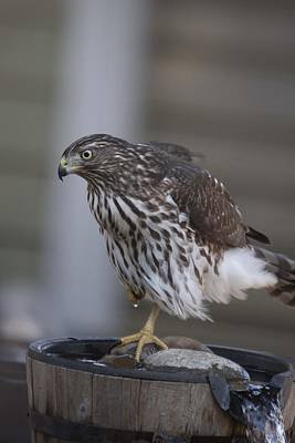 Photograph - Cooper's Hawk - Immature - 0007 by S and S Photo