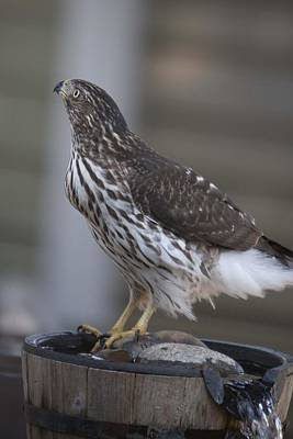 Photograph - Cooper's Hawk - Immature - 0008 by S and S Photo