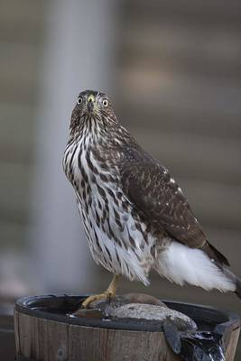 Photograph - Cooper's Hawk - Immature - 0009 by S and S Photo