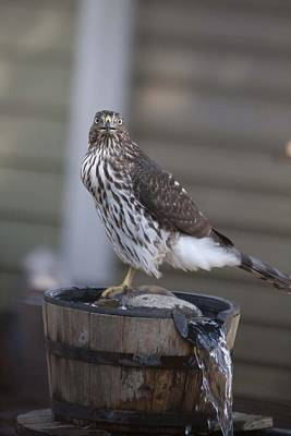 Photograph - Cooper's Hawk - Immature - 0010 by S and S Photo