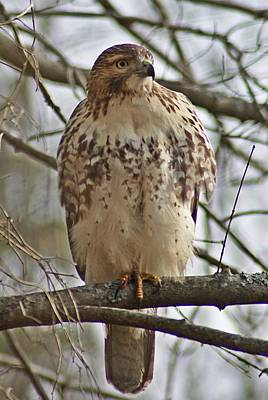 Photograph - Cooper's Hawk 1 by Joe Faherty