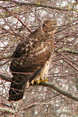 Photograph - Cooper's Hawk by Frank Townsley