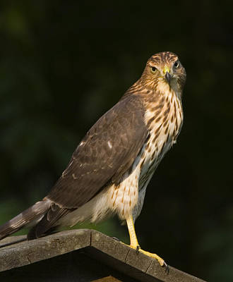 Photograph - Coopers Hawk  by Frank Winters