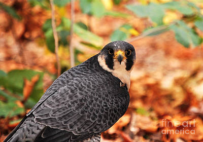 Autumn Peggy Franz Photograph - Coopers Hawk by Peggy Franz