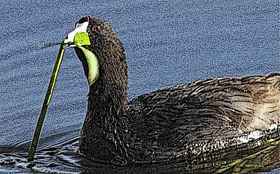 Photograph - Coot Is Cute by T Guy Spencer