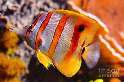 Copperband Butterfly Fish Art Print by Pravine Chester