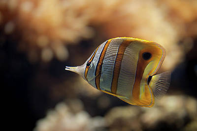 Swimming Fish Photograph - Copperband Butterflyfish by Stavros Markopoulos