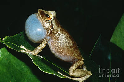 Coqui Photograph - Coqui Croaking by Dante Fenolio