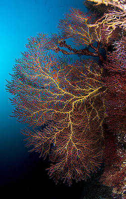 Y120817 Photograph - Coral At Sea Of Cortez by Luis Javier Sandoval