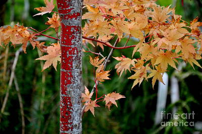 Garden Photograph - Coral Bark Japanese Maple by Tanya  Searcy
